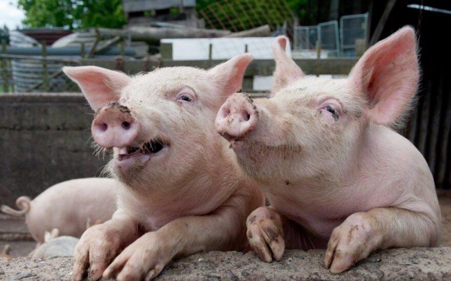 """Kiaulių maro pasekmės Lietuvoje: dalis ūkininkų """"agresyvokai nusiteikę"""" prieš inspektorius"""