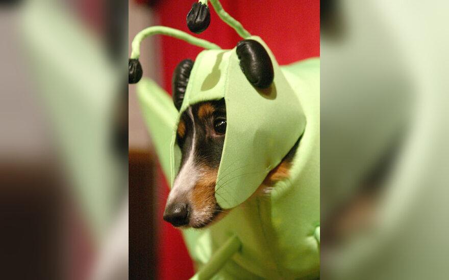 Šuo žiogo kostiumu