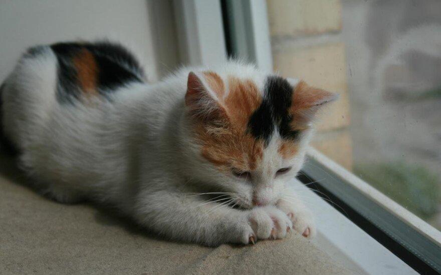 Tvarkinga ir labai meili katytė Muli gali apsistoti jūsų namuose