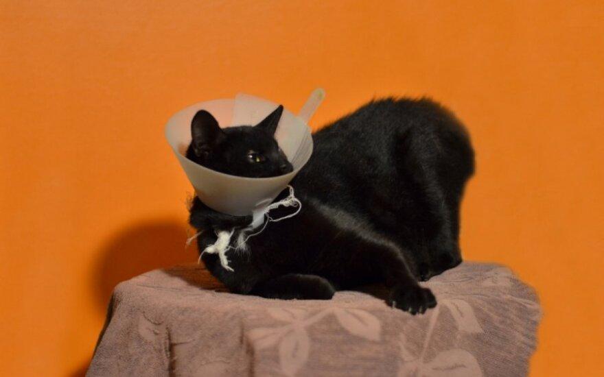 Nuostabaus būdo katytė Širvė iš Širvintų ieško namų!
