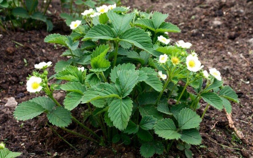 Kaip pavasarį prižiūrėti braškes, kad džiugintų derlius