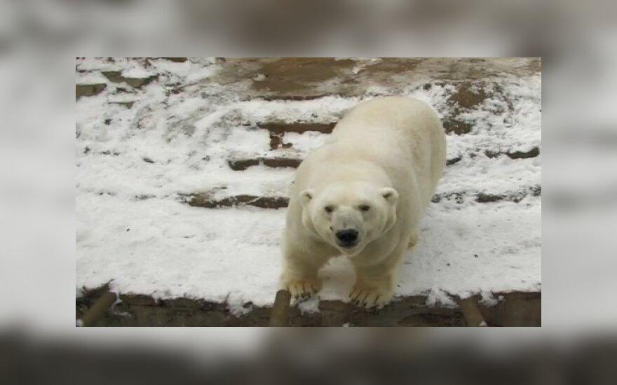 Kauno zoologijos sodo Baltasis lokys Kasparas