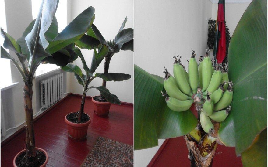 Bananai Troškūnuose