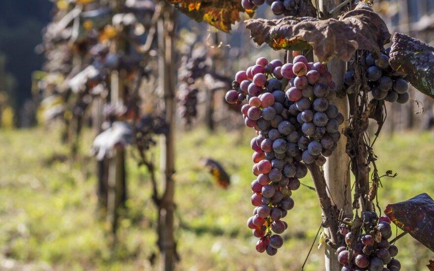"""Po neįprastai sausos vasaros Bordo tikisi """"puikaus"""" vynų derliaus"""