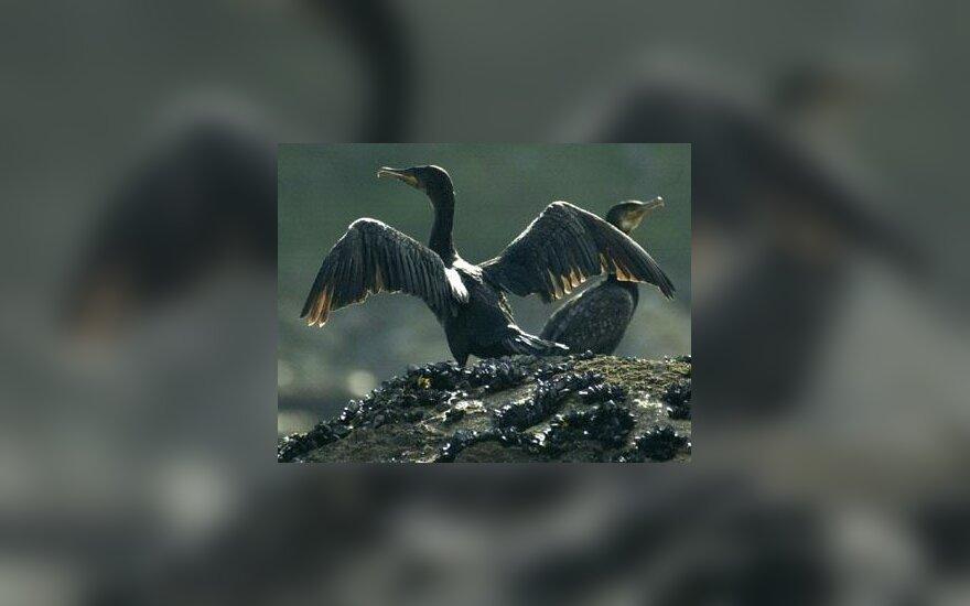 Aplipę nafta kormoranai