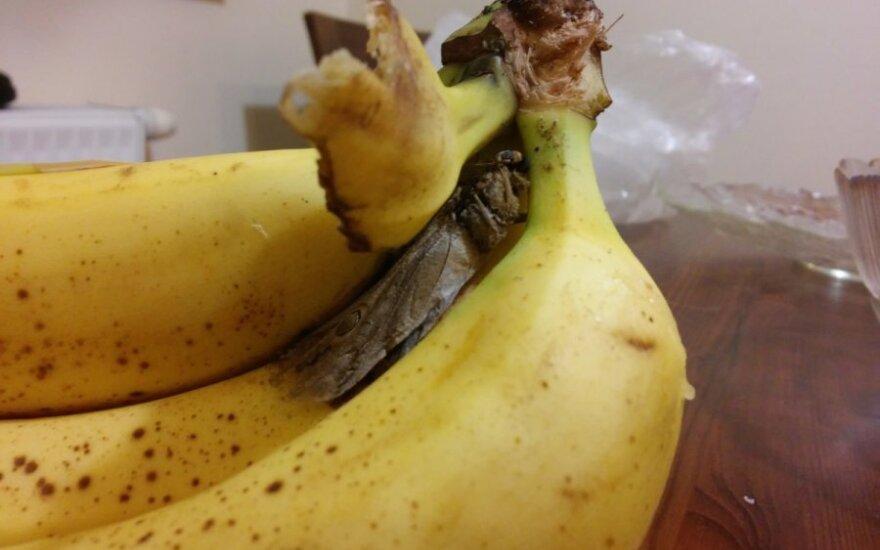 Bananai ir drugelis