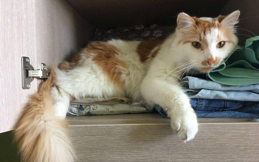 Vilniaus Bajoruose dingo katinas