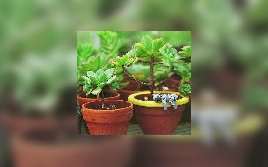 Augalai, gėlės