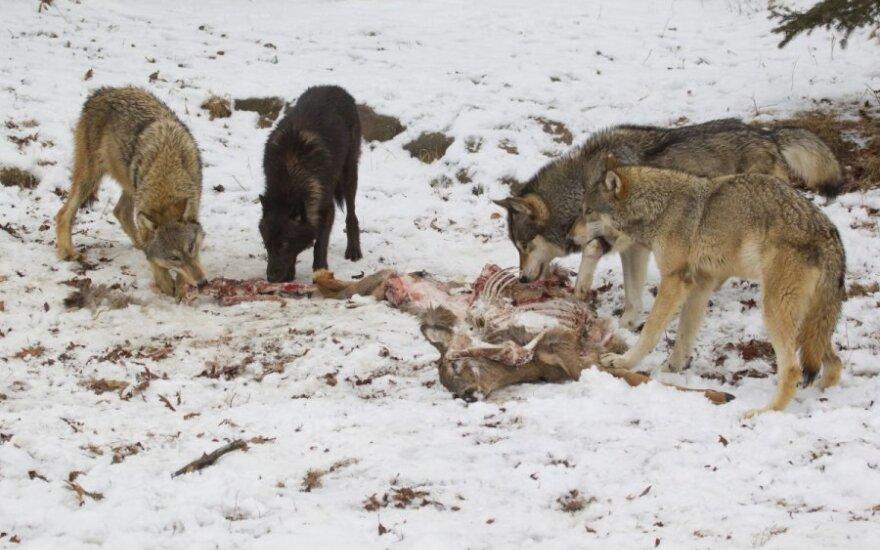 Nustatyta, kad Europoje daugėja vilkų