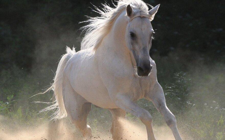 """Žirgų """"mama"""" svajoja apie baltą žirgą"""