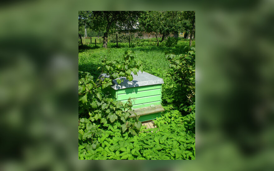Avilys, bitės, bitininkystė