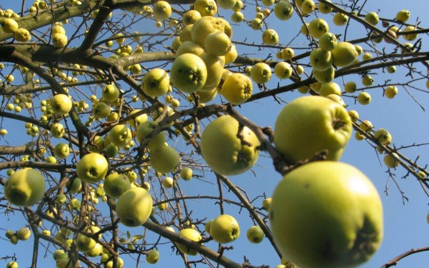 Obuolių kainas Lietuvoje diktuoja lenkai