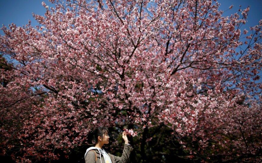 Japonijoje pražydo pirmosios sakuros