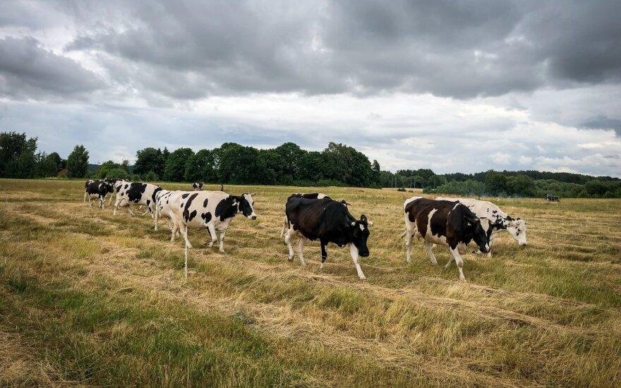 Jurbarko rajone iš sodybos pavogta karvė ir veršiukas
