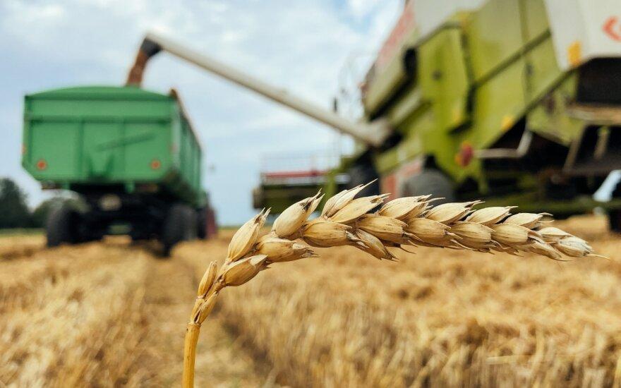 Javapjūtė įsibėgėja – aiškėja reali derliaus kokybė