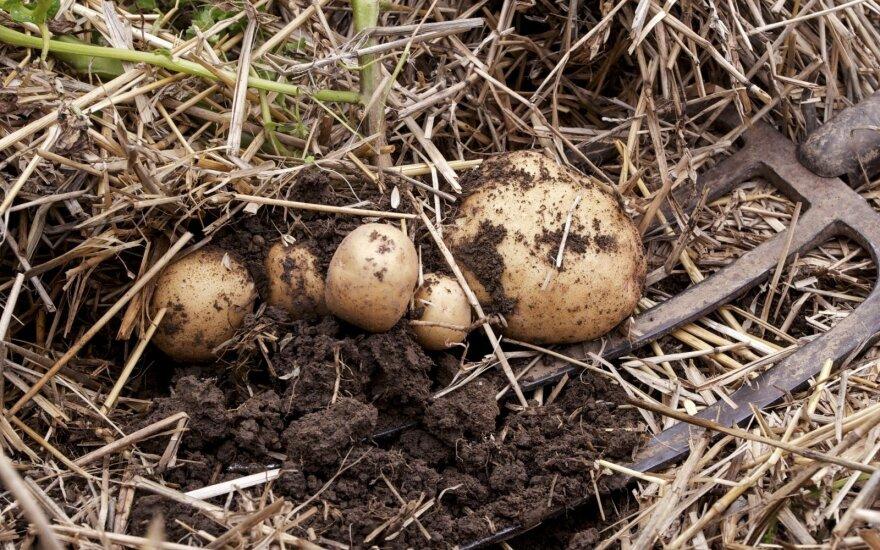 Bulvės po šiaudais