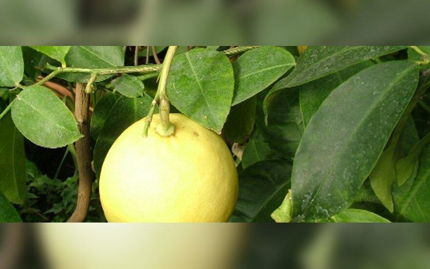 Citrinmedžio vaisių sulaukti reikės kantrybės arba pažįstamo sodininko pagalbos