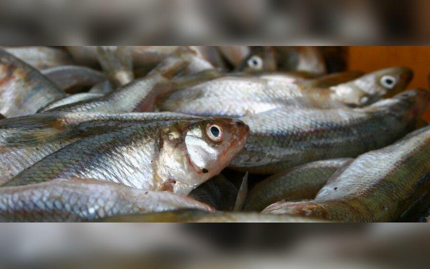 Fantastinė stintų kaina atperka žvejų vargus