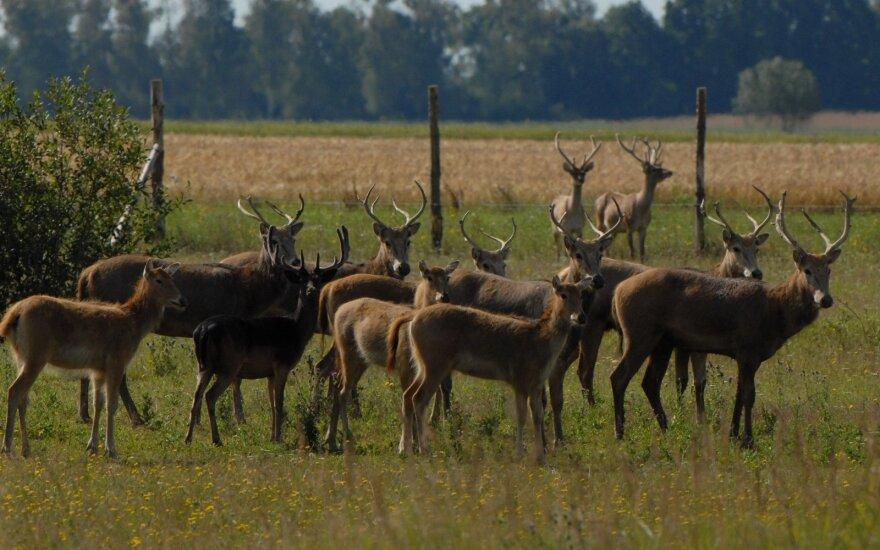 Kada užauginto gyvūno medžioklė laikoma brakonieriavimu?