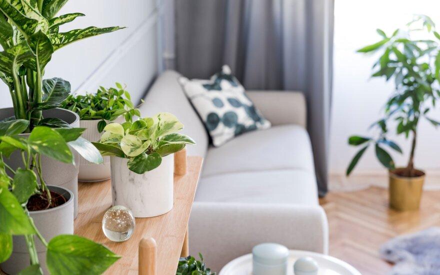 Kambariniai augalai negerina oro kokybės: jei manote priešingai, klystate