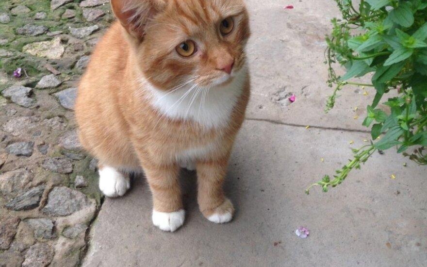 Sterilizuota jaunutė smėlio spalvos katytė ieško namų