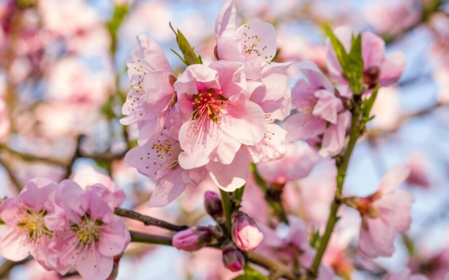 Nemalonios pavasario staigmenos: kaip apsaugoti augalus nuo šalnų