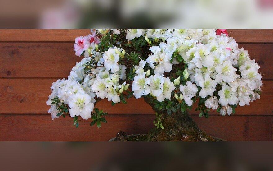 Žydintis bonsai medelis. K.Ptakausko Ryto rasos sodas