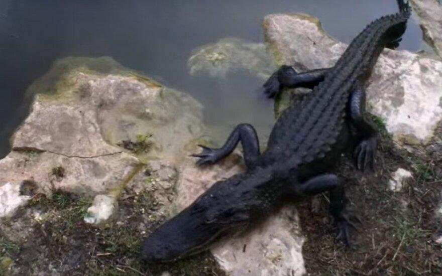Aligatorius
