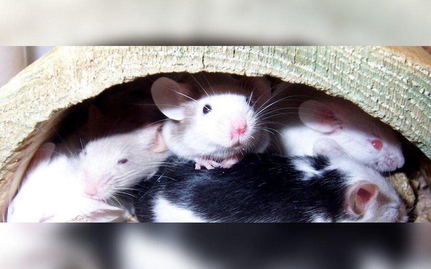 pelės ausys varpoje)