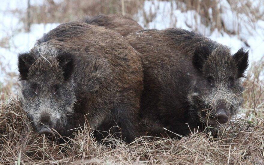 Dėl afrikinio kiaulių maro kviečiama Ekstremalių situacijų komisija