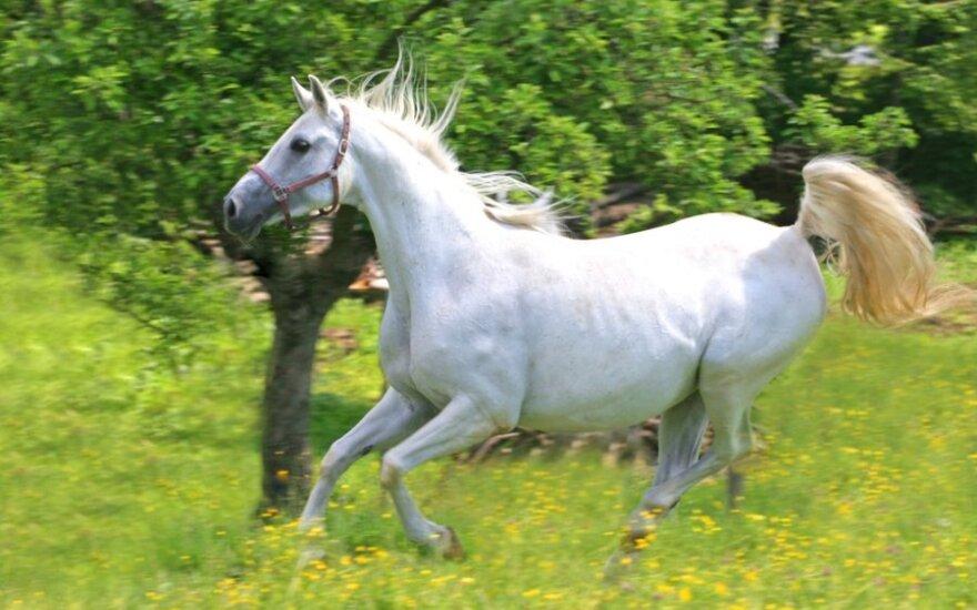 Baltas žirgas