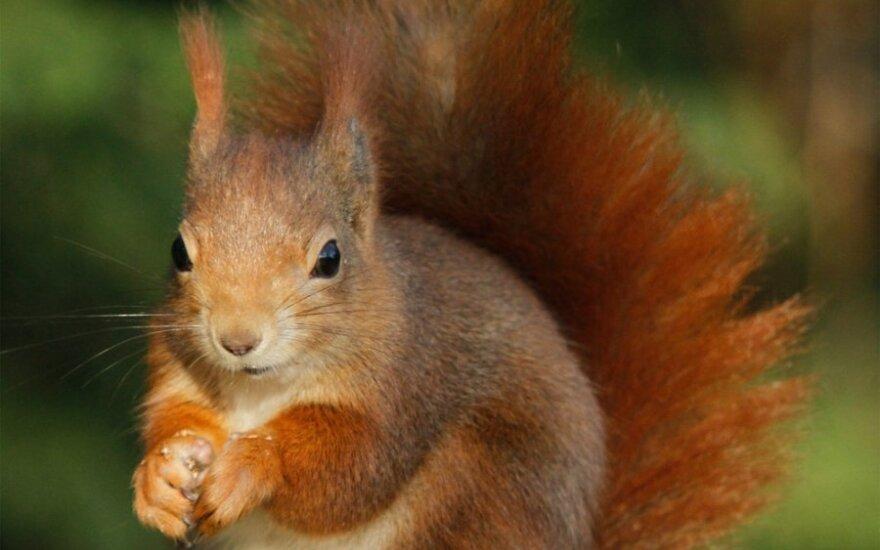 Ukrainiečius Lietuvoje žavi voverės, italus – virtuvė
