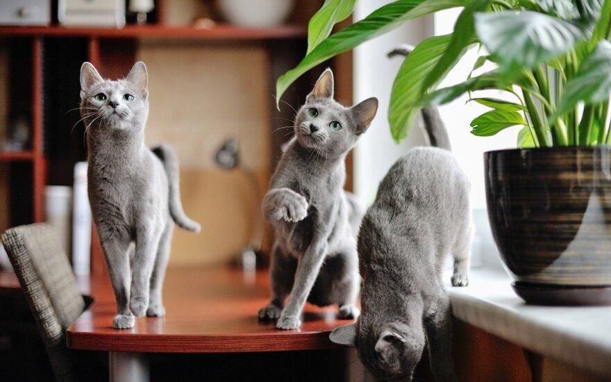 Rusų melsvosios katės