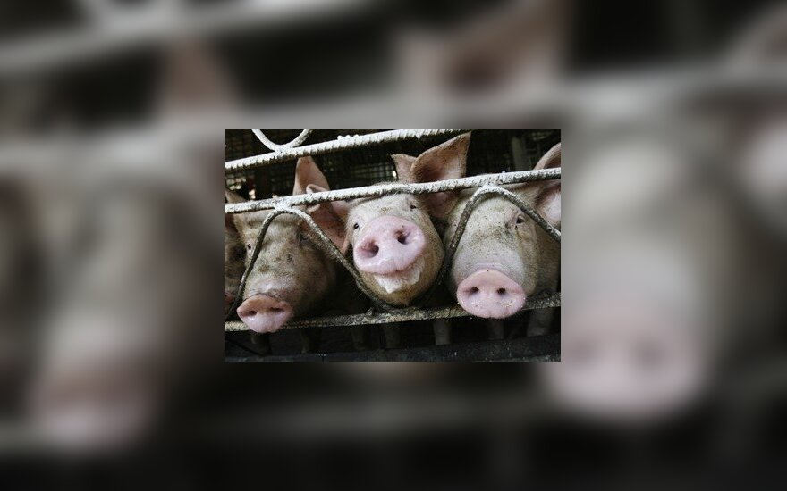 Baltarusijoje masiškai naikinamos kiaulės, pasitelktos milicijos pajėgos
