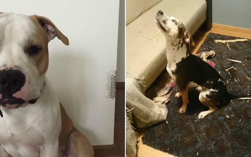 Šunys, pagauti nusikaltimo vietoje