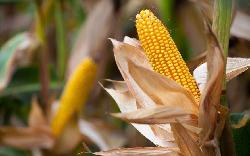 Sprendžia mįslę, kaip elektromobiliais nuvažiuoti toliau: atsakymas gali slypėti kukurūzuose