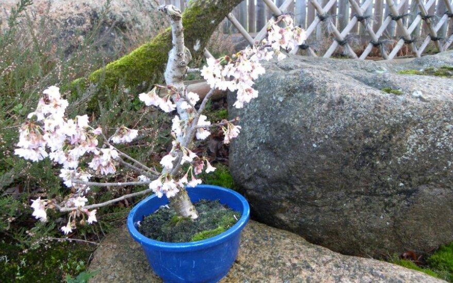 Gamtos pokštai: žiedais sausį pasidabino sakuros