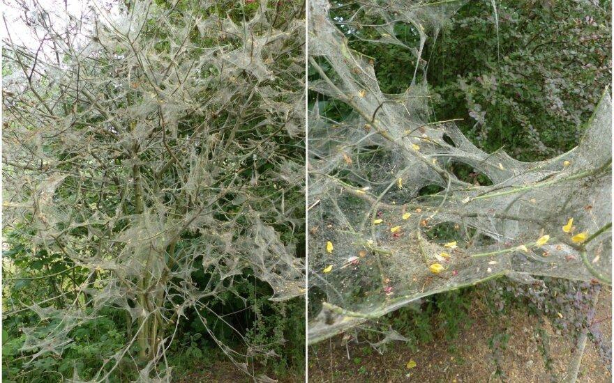 Ievinių kandžių voratinkliai ant ievų