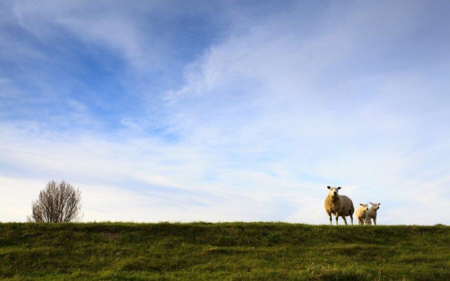 Telšių r. vilkai papjovė ūkininkės avis