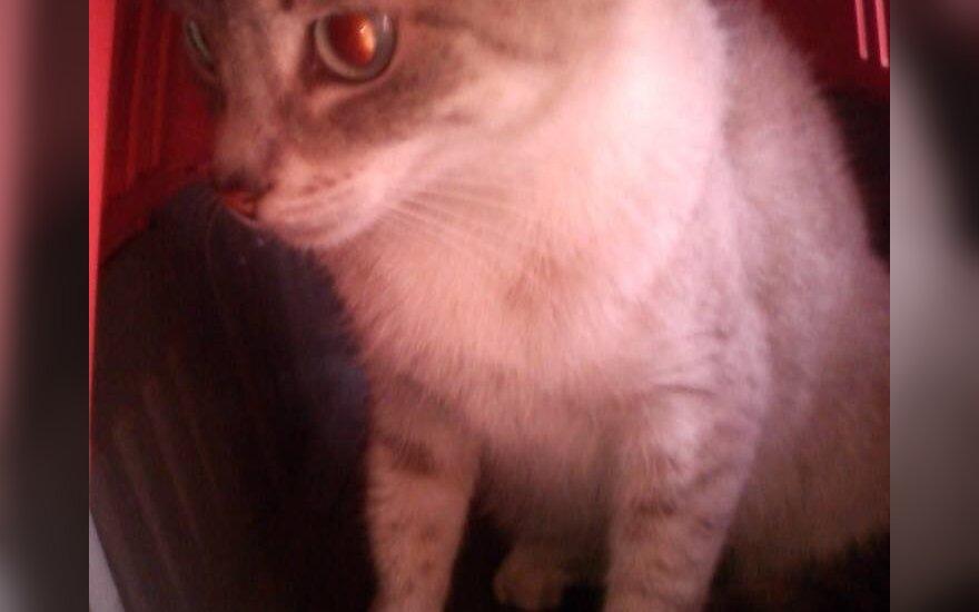 Vilniuje rasta žydraakė katytė