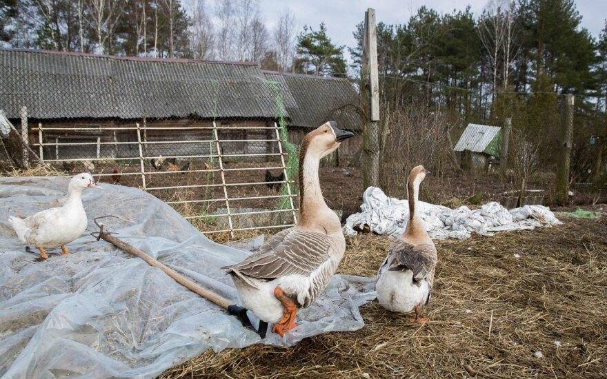 Lietuvoje naujų paukščių gripo atvejų nenustatyta, nors Europoje šio viruso plitimas neslūgsta