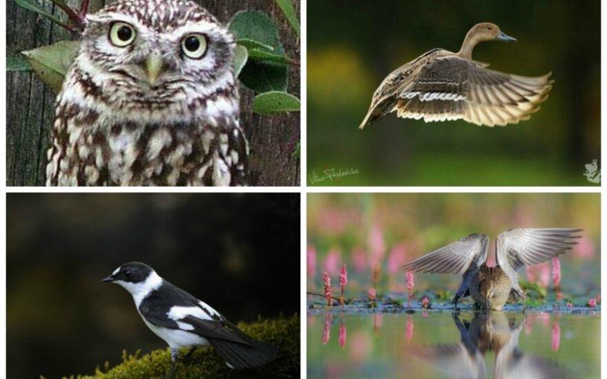 Paukščiai, kurie nyksta ir kurių kurių daugėja mūsų šalyje