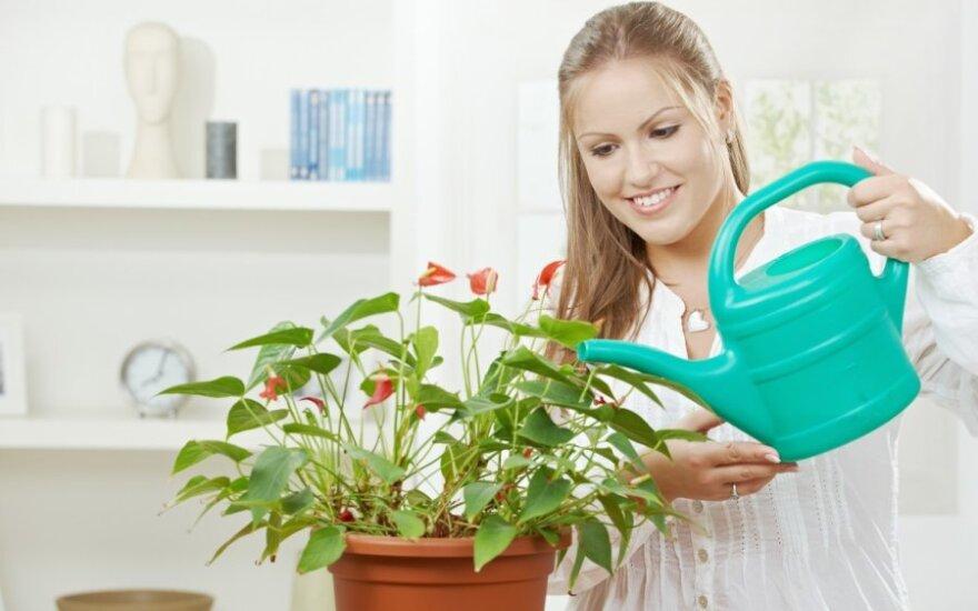Kambarinių augalų laistymas: ką daryti, kai išvykstate?