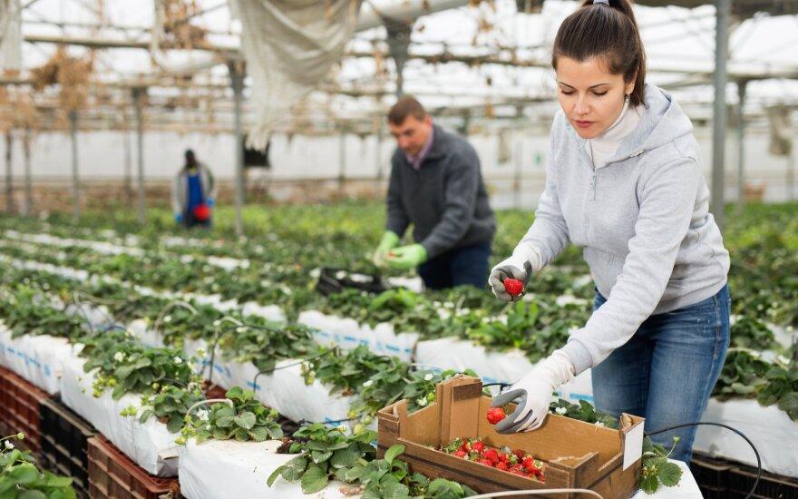 Prasideda sezoninių darbuotojų paieška, bet regionuose pasiūlymų dar maža