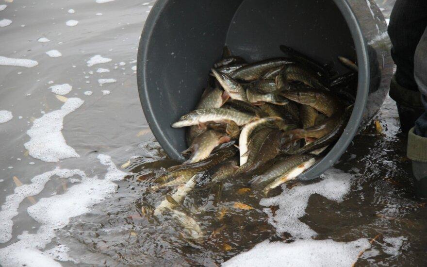 Į Šiaulių vandens telkinius vėl prileista naujų žuvų