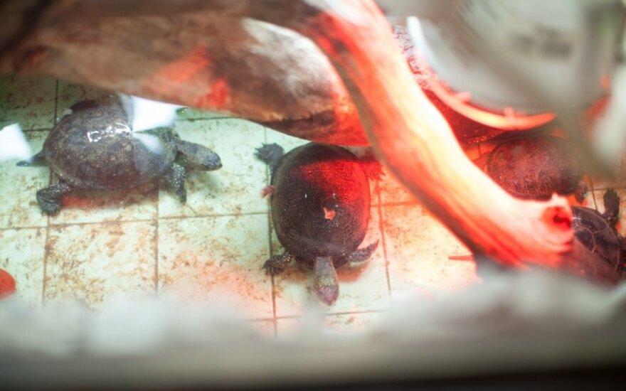 Baliniai vėžliai