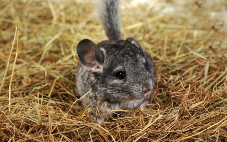 Chinchilla farming one of most profitable businesses in Lithuania