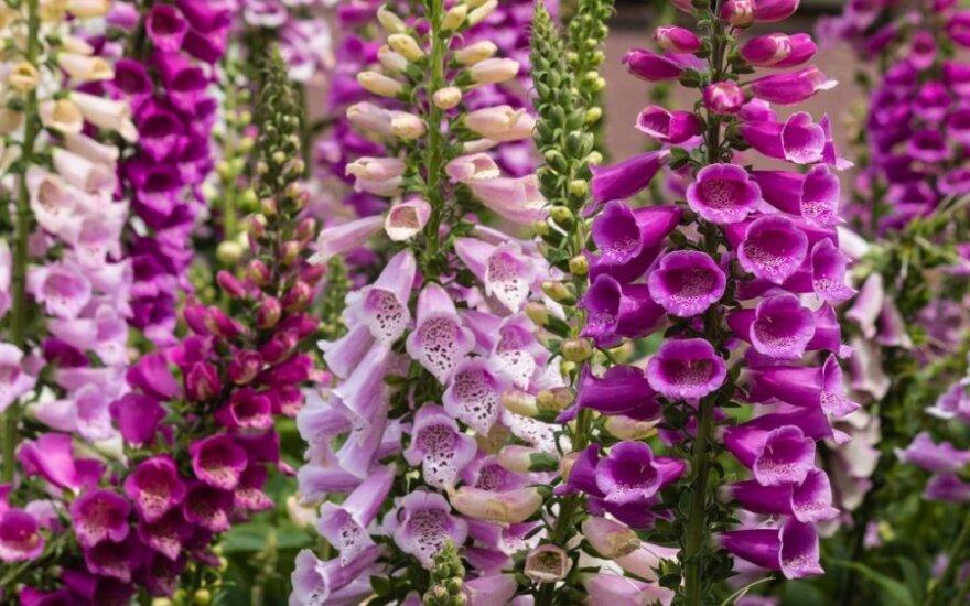 Gražūs, bet nuodingi sodo augalai