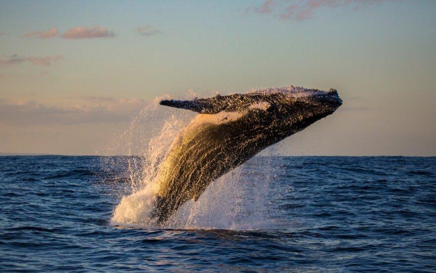 Banginių stebėjimas