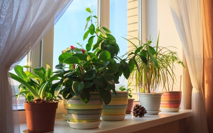 Kambariniai augalai, kurių negalima laikyti namuose